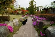 芝桜と紅カナメと猫