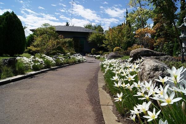 霊園の歩道に咲くタマスダレ