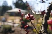 梅のつぼみ1