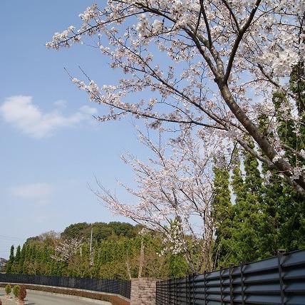 桜(2011年)