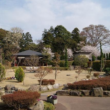 桜の開花(2011年)