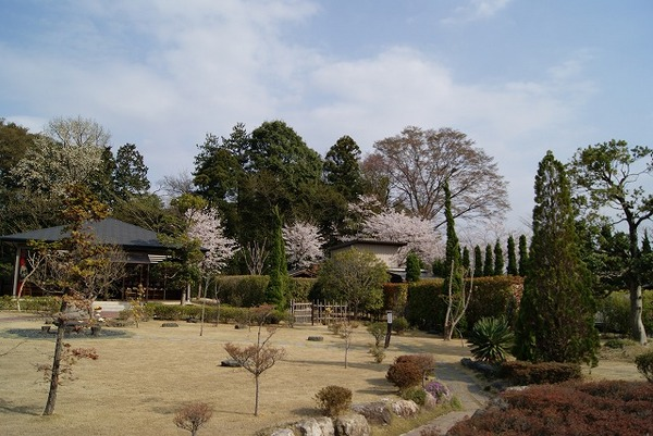 桜の開花2(2011年)