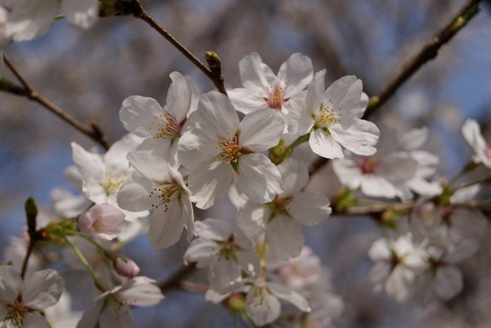 桜2(2011年)