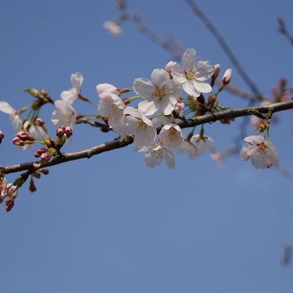 桜3(2011年)