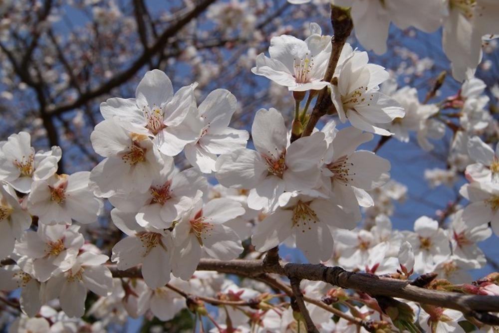 霊園内の桜1(2012年)
