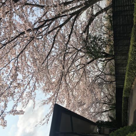 さくら(2019年4月)